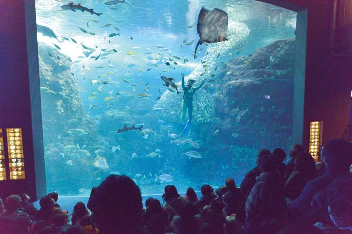相模湾にいる生き物を集めて展示している大水槽。一日に数回、ショーが行われている。